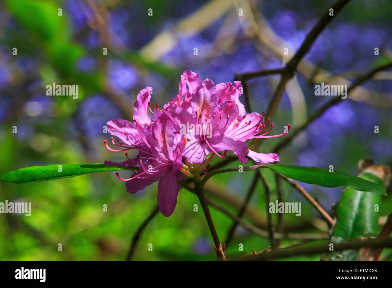 Rhododendron catawbiense - Stock Image
