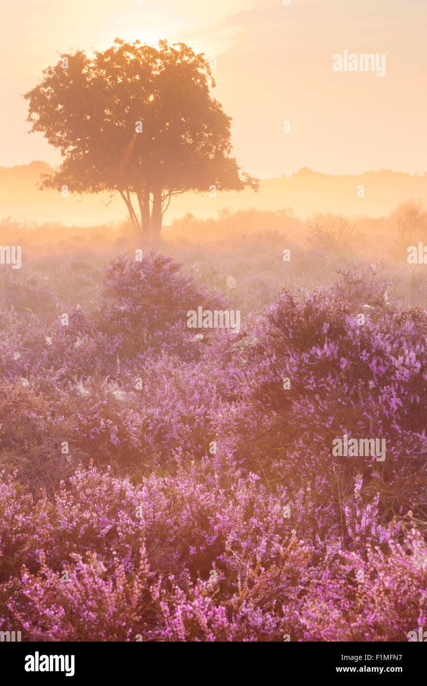 Blooming heather on a foggy morning at sunrise. Photographed near Hilversum in The Netherlands. Stock Photo