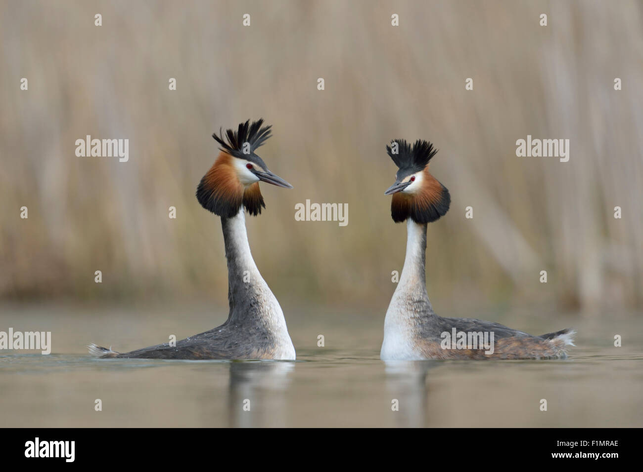 A pair of Great Crested Grebe / Grebes / Great Cresties / Haubentaucher ( Podiceps cristatus ) in courtship mood. - Stock Image