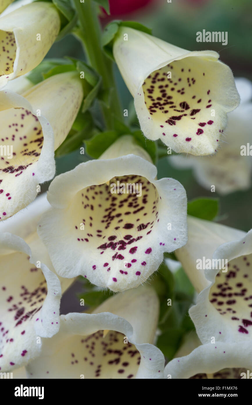 A closeup of flowers from the white cultivar of foxglove, Digitalis purpurea, growing in a garden in St Albert, - Stock Image
