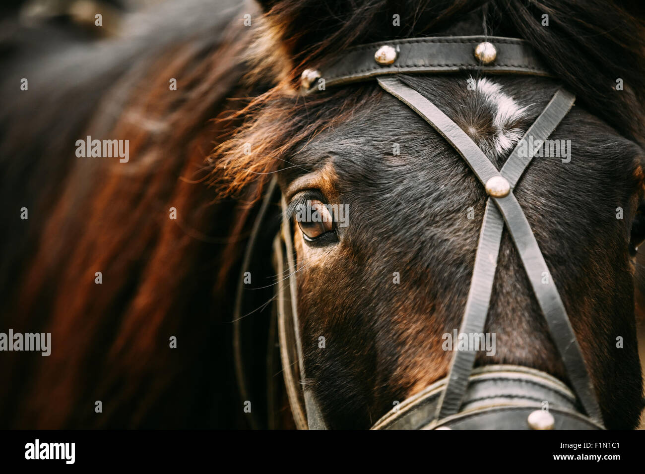 Close Up Of Arabian Bay Horse- Very Shallow Field Of Depth - Stock Image