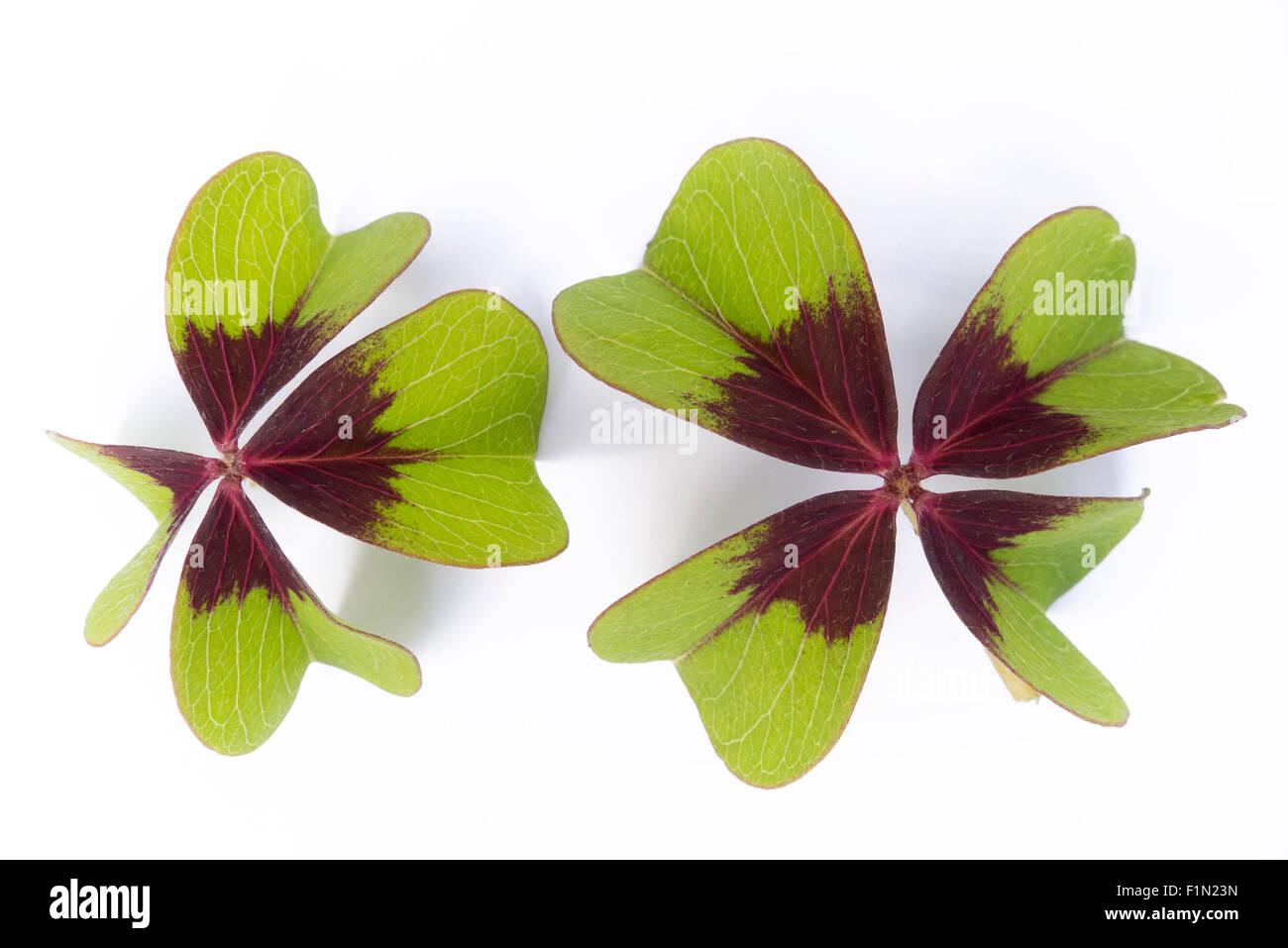 1 x Iron Cross Oxalis Deppei Lucky Clover Plant 8cm pot