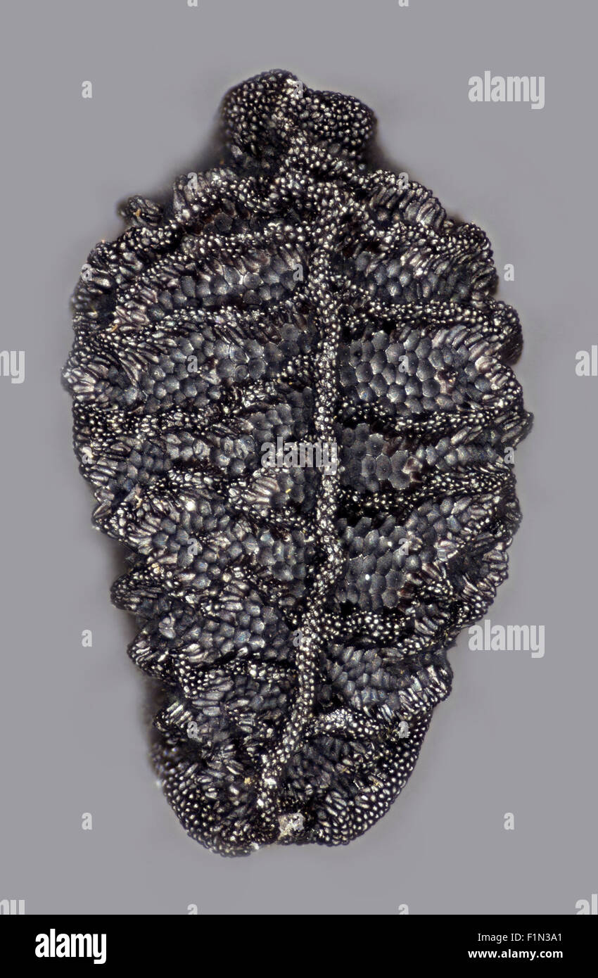 Nigella flower seed exterior surface detail, highly magnified, high macro view, - Stock Image
