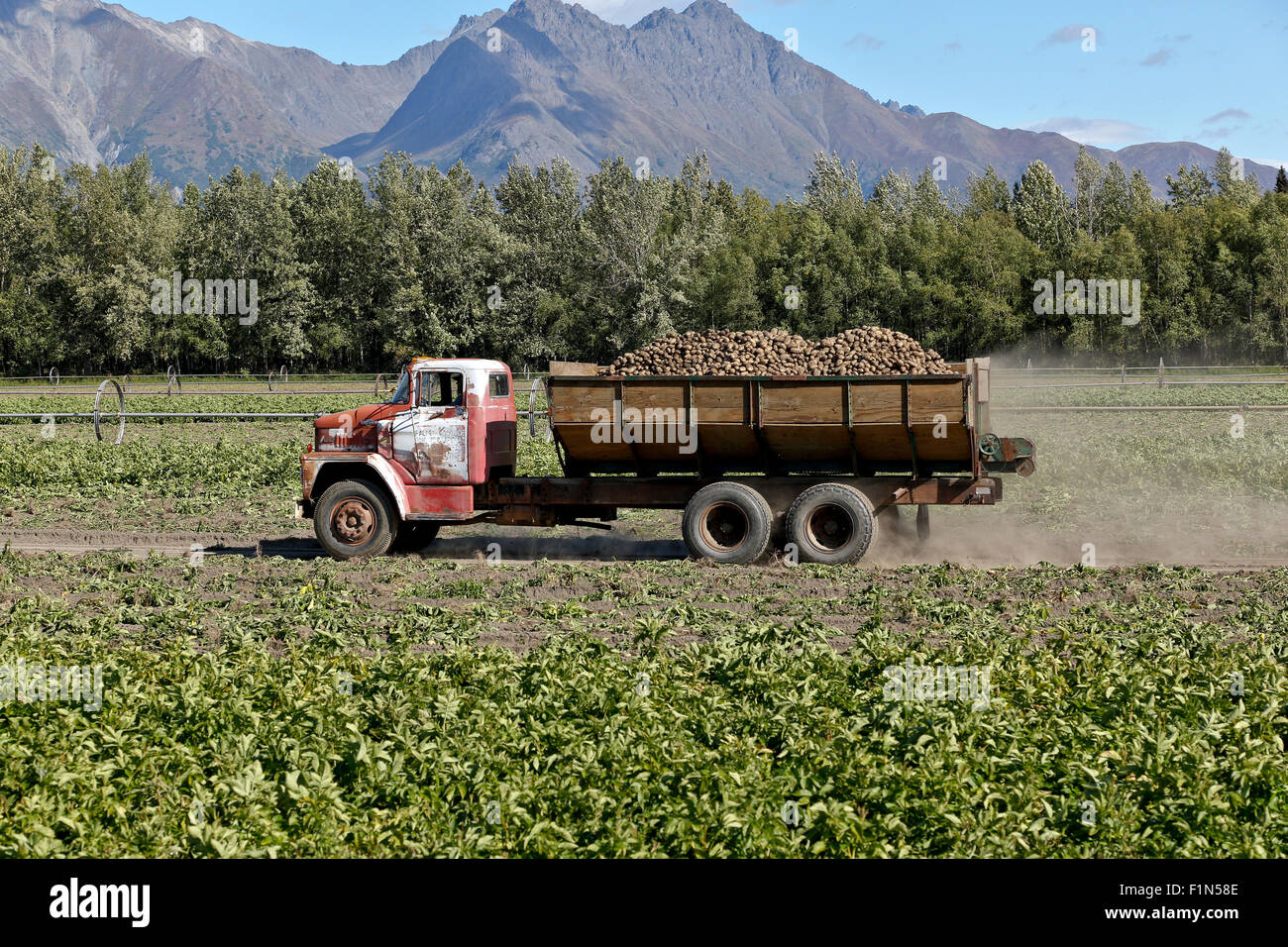 Dodge truck hauling  harvested 'Shepody' potatoes to processing plant. - Stock Image