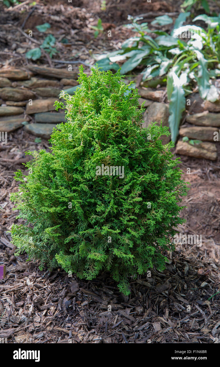 Chamaecyparis 'Spirited'  Hinoki Cypress - Stock Image