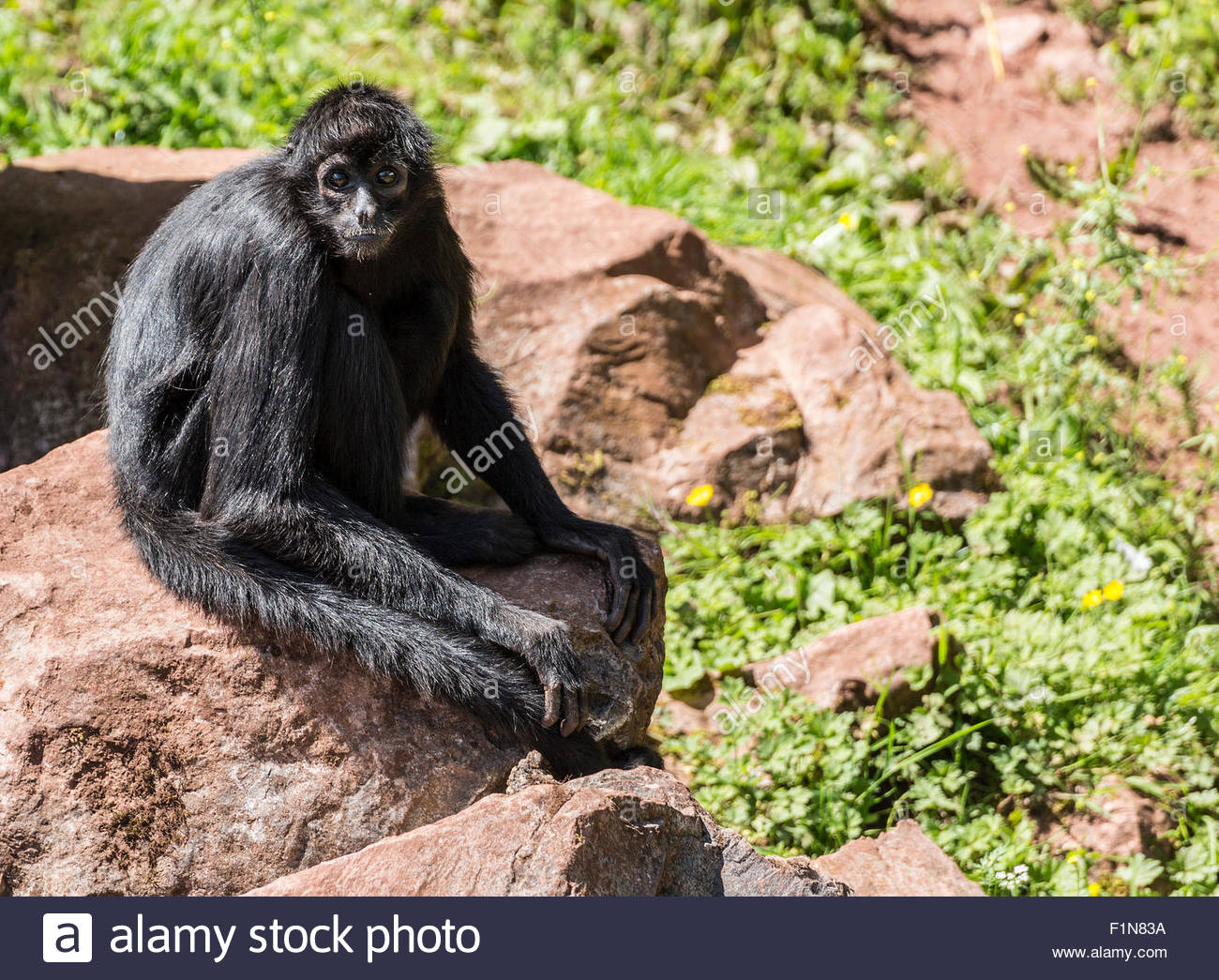 Columbian spider monkey looking very innocent - Stock Image