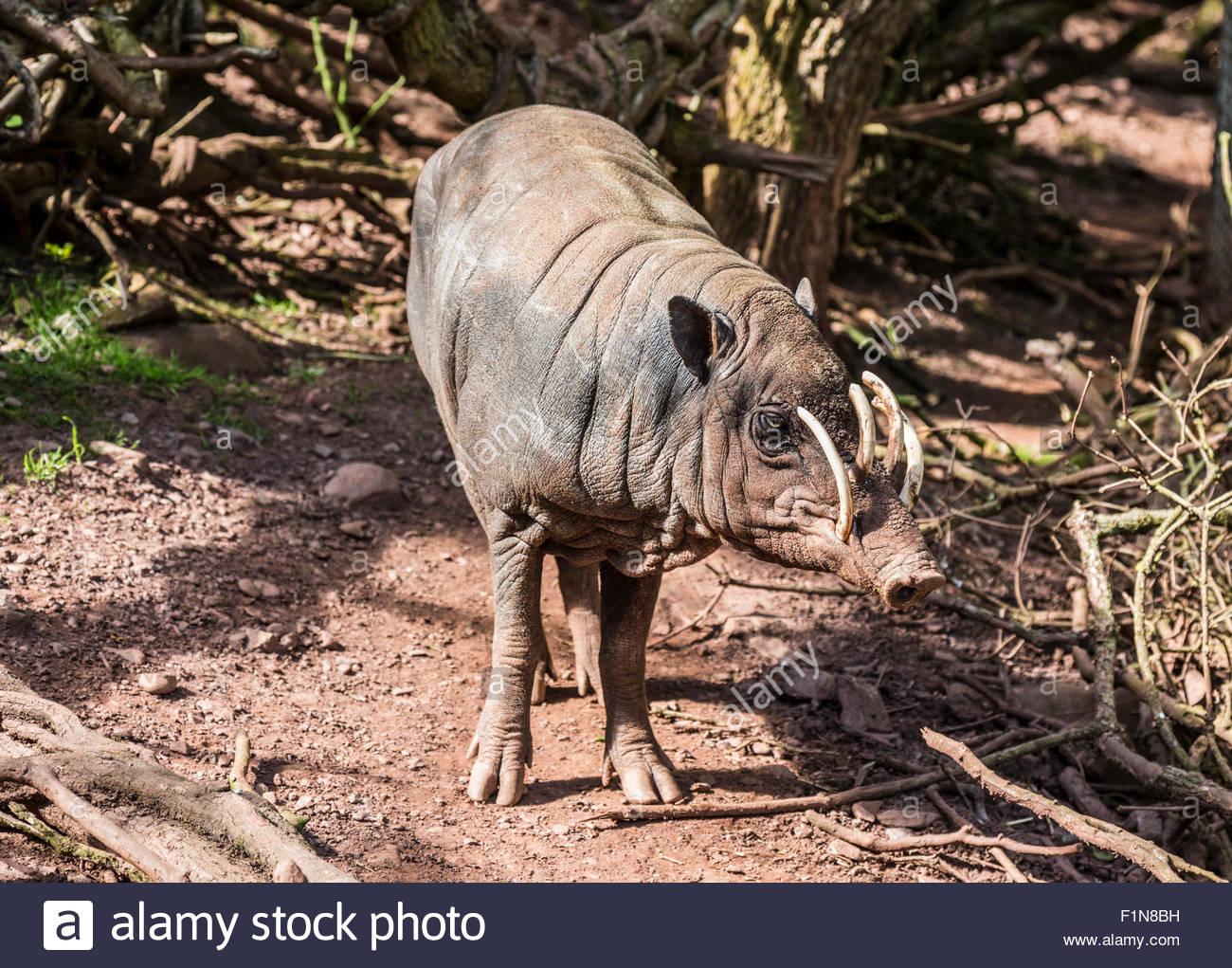 Very wary babirusa - Stock Image