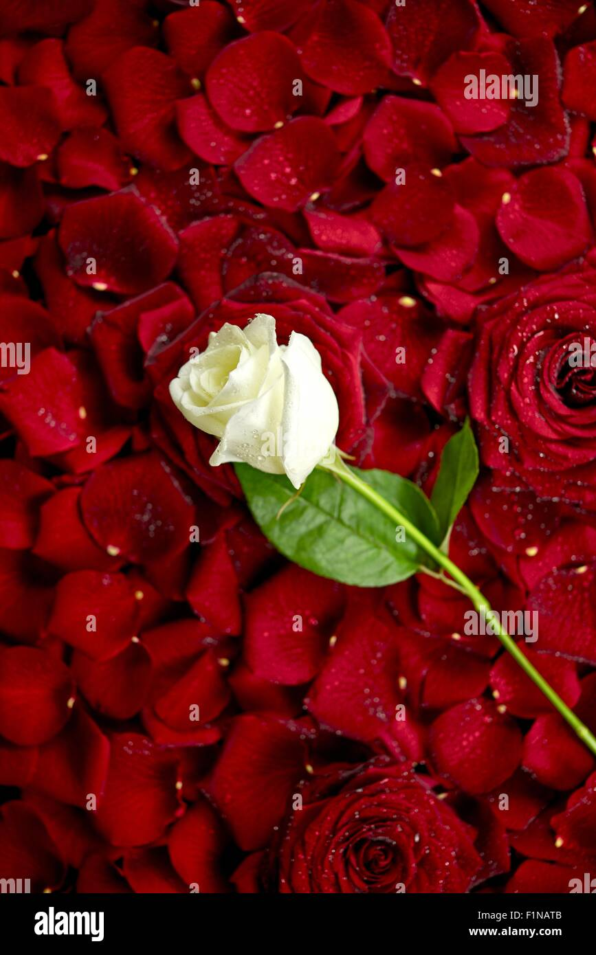 White Rose On Red Rose Petals Valentine S Day Theme Roses Stock