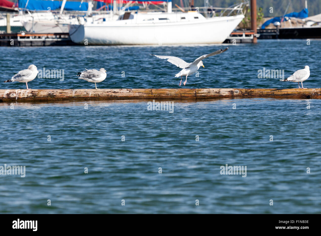 Four Seagulls in various stages of activity on a log floating in a marina in Northern Idaho. - Stock Image