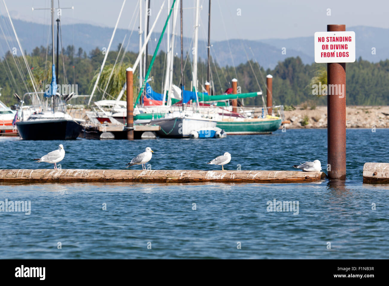 Four seagulls standing on a log in a lake, disregarding a sign posted not to stand or dive from the log. - Stock Image