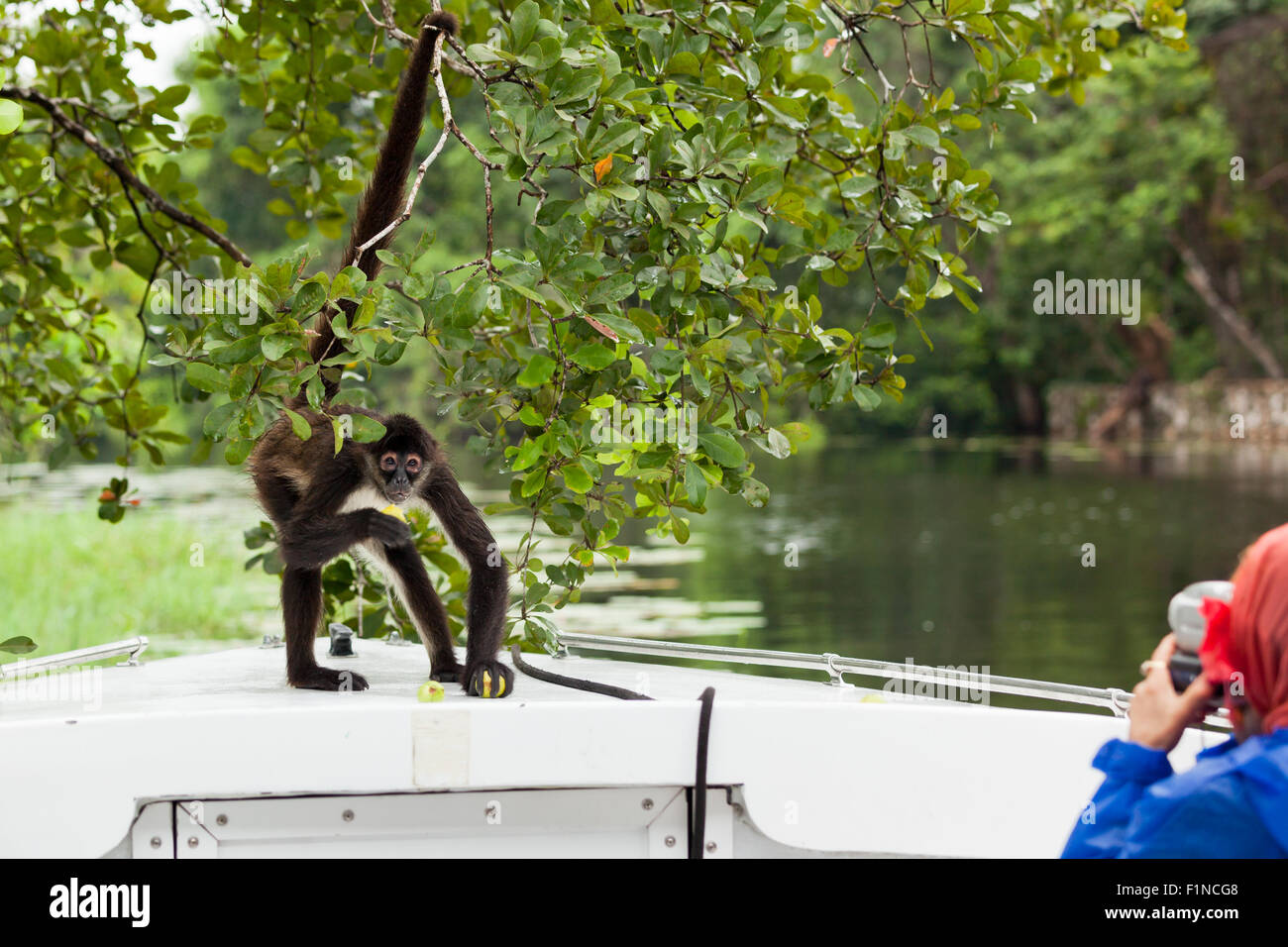A spider monkey holds on to a tree while on the bow of a tourist boat to eat some fruit while people take pictures. - Stock Image