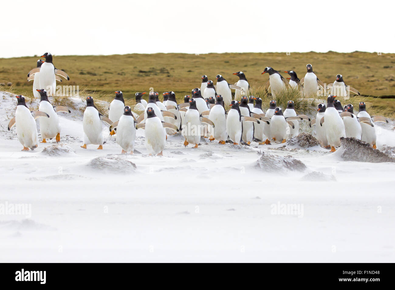 Gentoo penguin colony on the beach, Falkland Islands - Stock Image