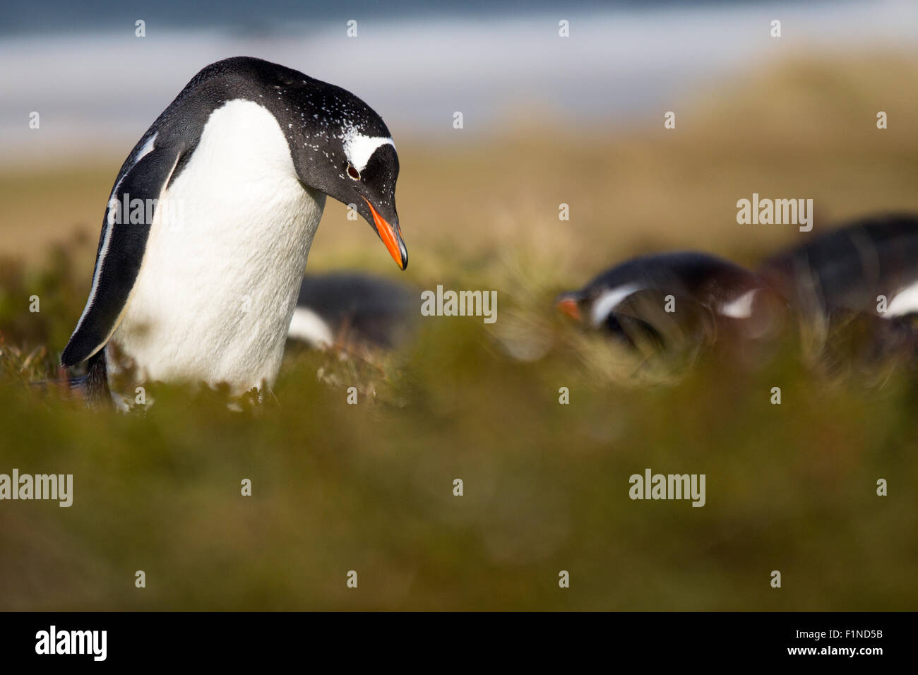 Gentoo Penguin (Pygoscelis papua) in his colony in the grass. - Stock Image