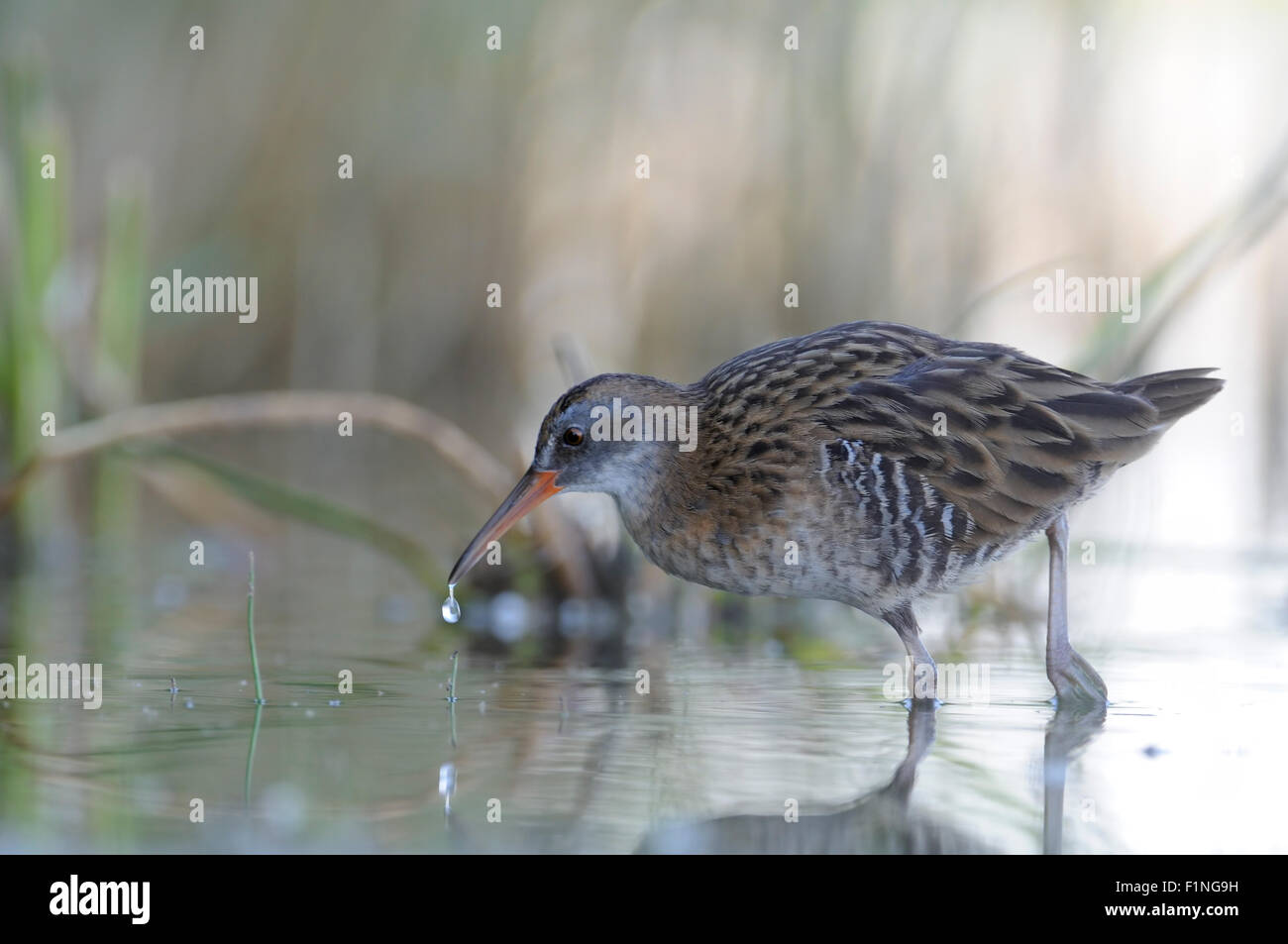 Water Rail in the morning reeds - Stock Image