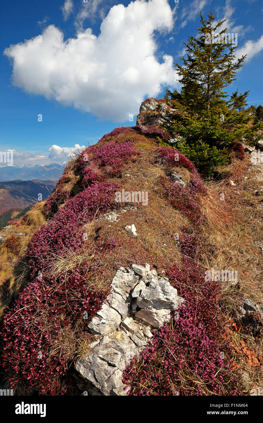 Ericaceae plants.  The Monte Grappa massif. - Stock Image