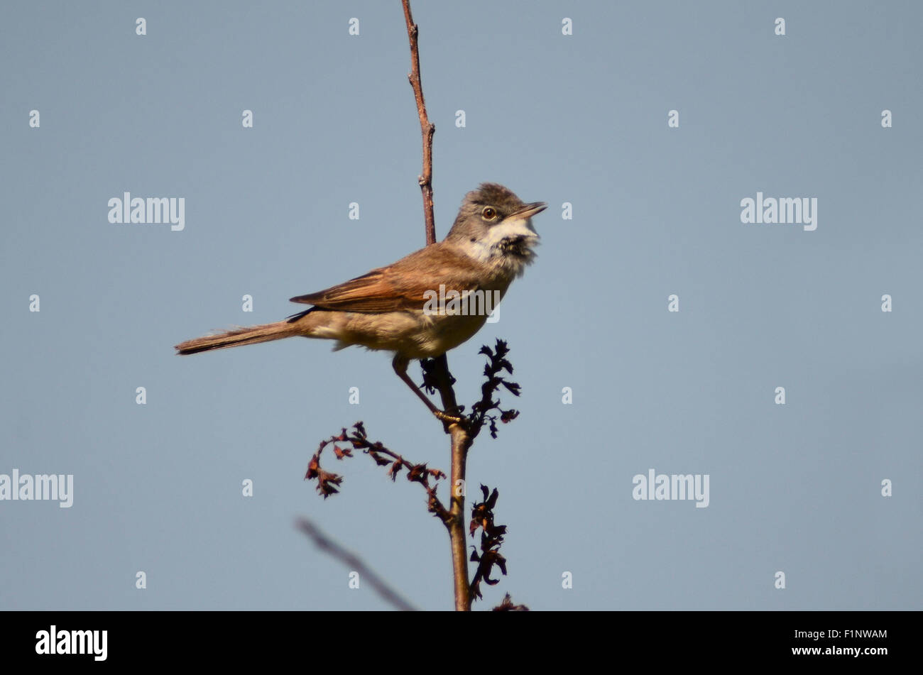 A common whitethroat singing from a high perch UK - Stock Image
