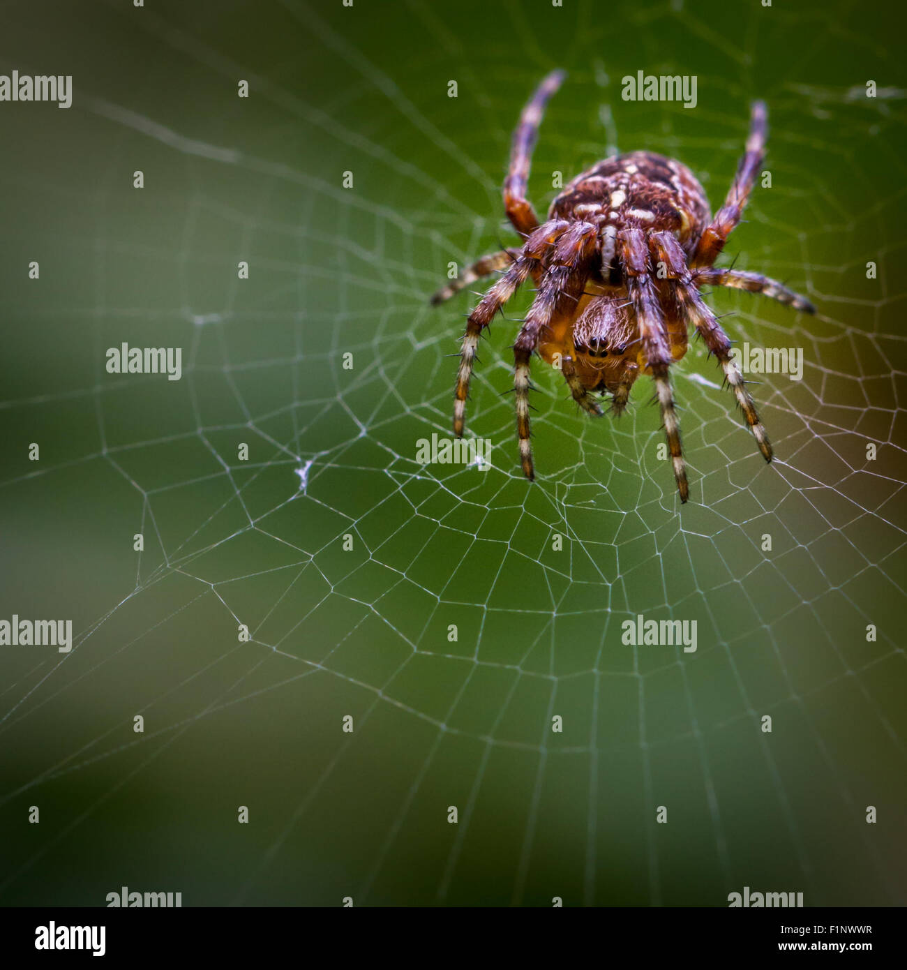 The common garden spider (araneus diadematus) which spins its web overnight has a distinctive cross mark on its - Stock Image