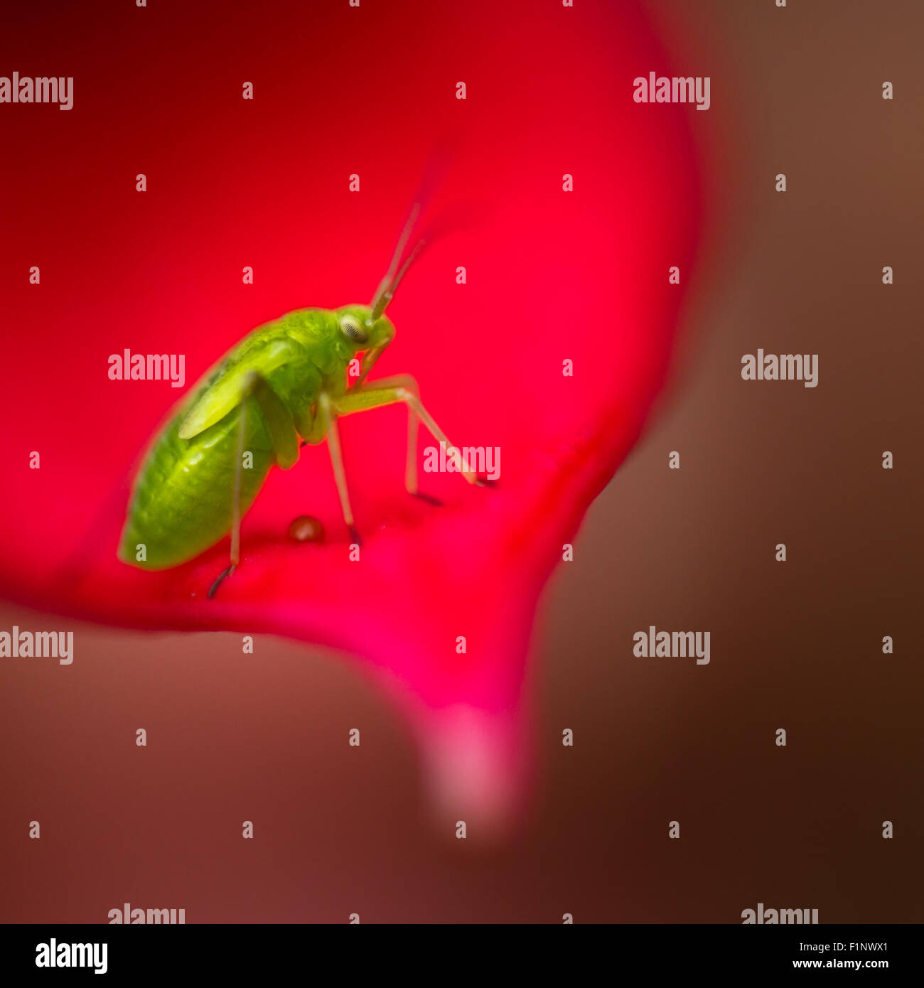 Common green capsid nymph which enjoy eating fuchsia - Stock Image