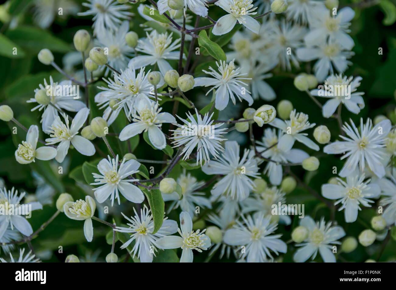 Plain clematis (Clematis vitalba), Old Man's Beard or Traveler's Joy, bushy plant blossom - Stock Image