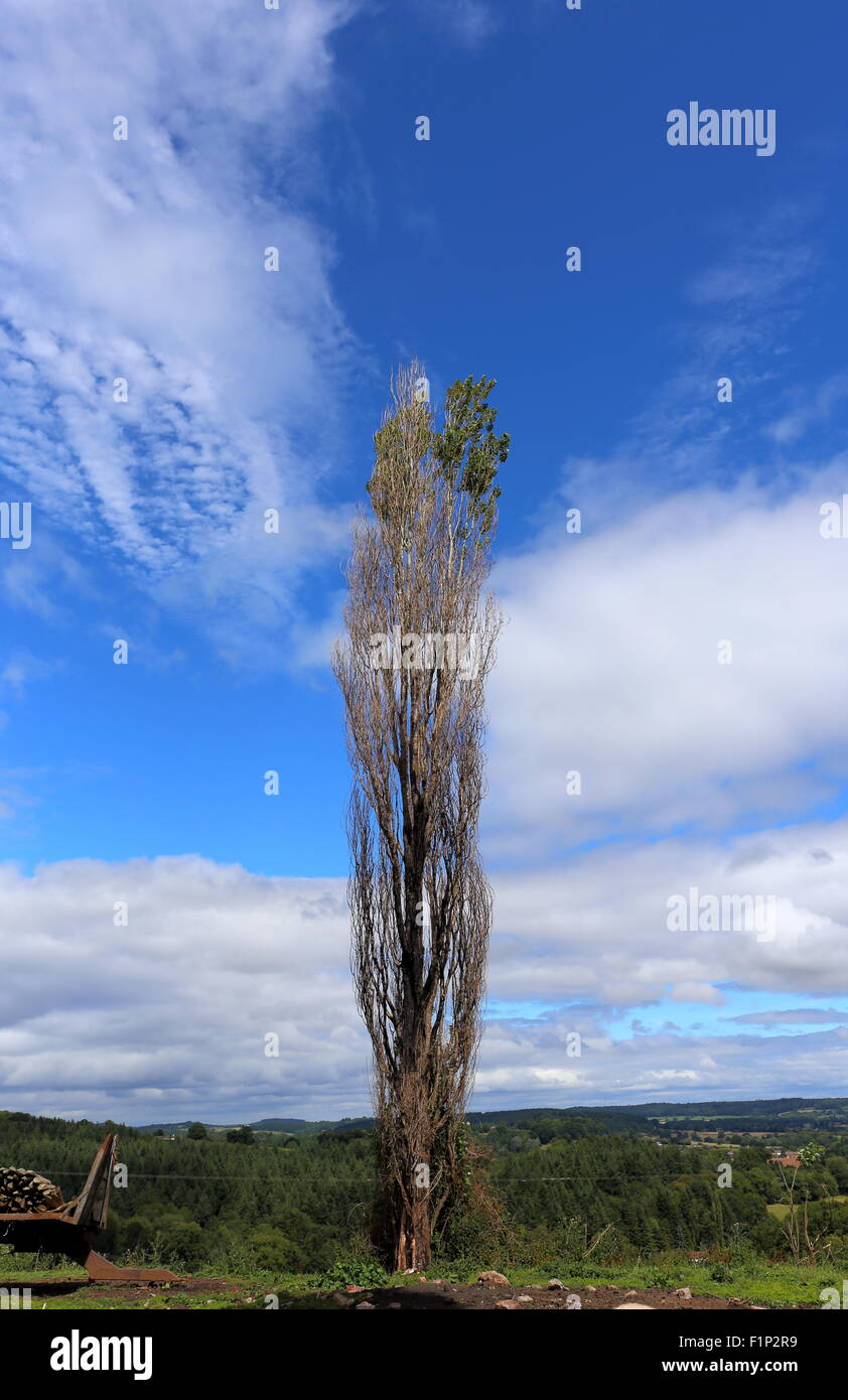 Diseased lombardy poplar, in a field, Herefordshire, UK - Stock Image