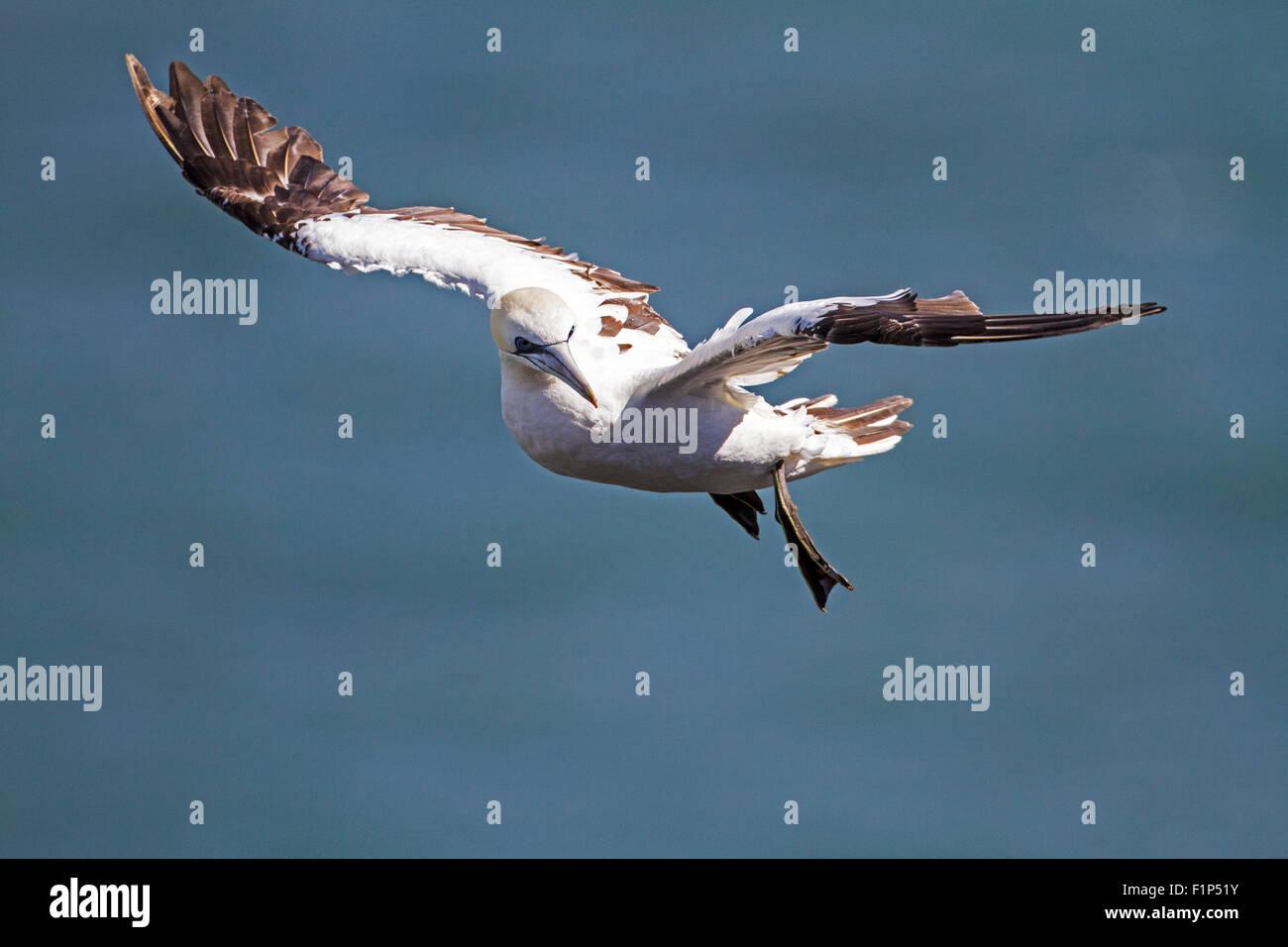 Gannet (Morus bassanus) - Stock Image