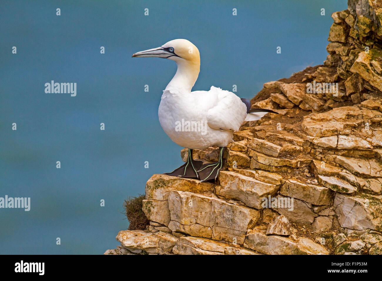 Gannet on  cliff - Stock Image