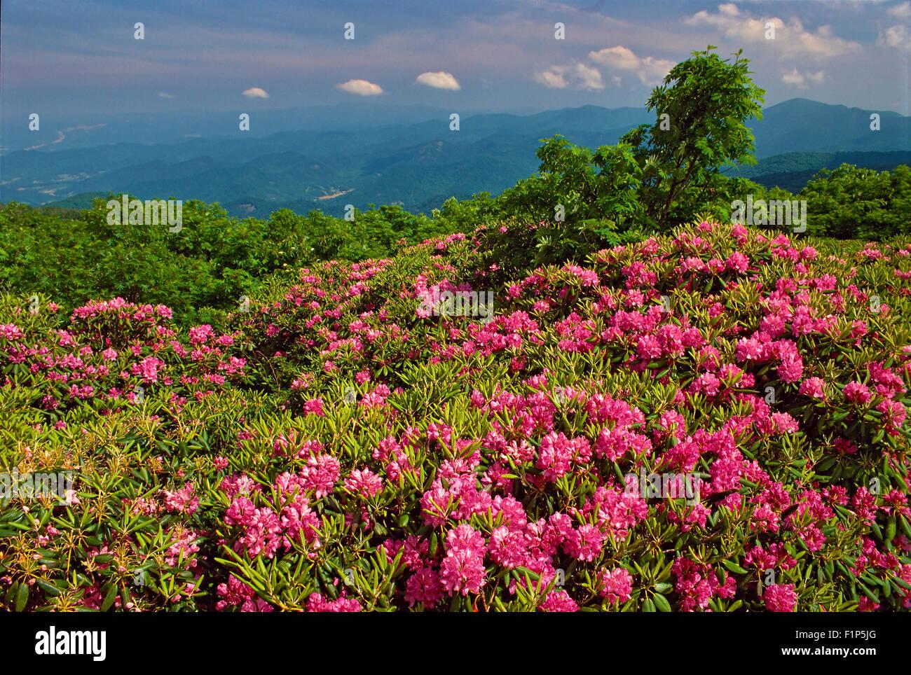 Wild Rhododendron, Craggy Gardens, Blue Ridge Parkway, North Carolina, USA - Stock Image