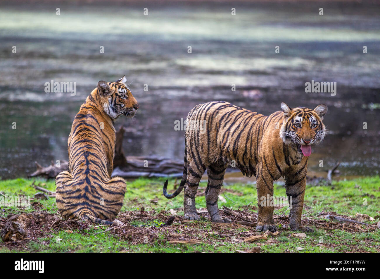 Wild Young Tigers around 13 months old nearby lake, Ranthambhore forest, India. [Panthera Tigris] - Stock Image