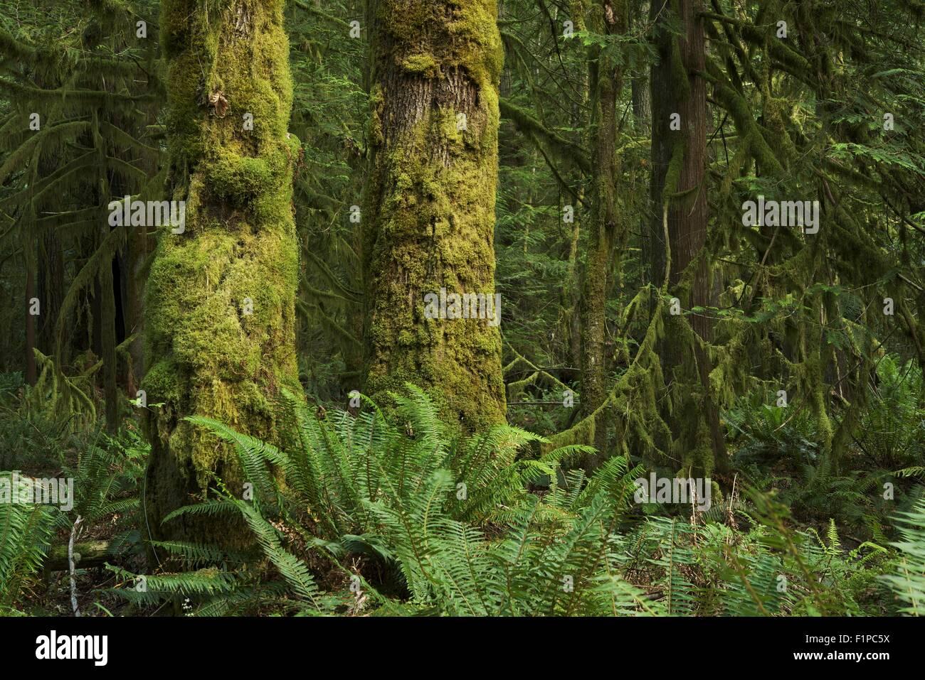 Washington State Rainforest Landscape. Deep Mossy Pacific Northwest Forest.  Nature Photography Collection - Washington State Rainforest Landscape. Deep Mossy Pacific Northwest