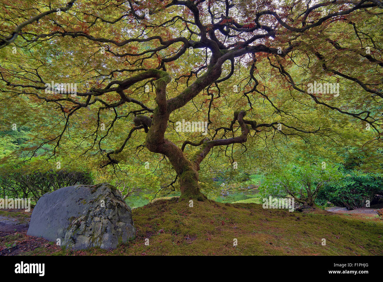 Old Japanese Lace Leaf Maple Tree at Japanese Garden Stock Photo