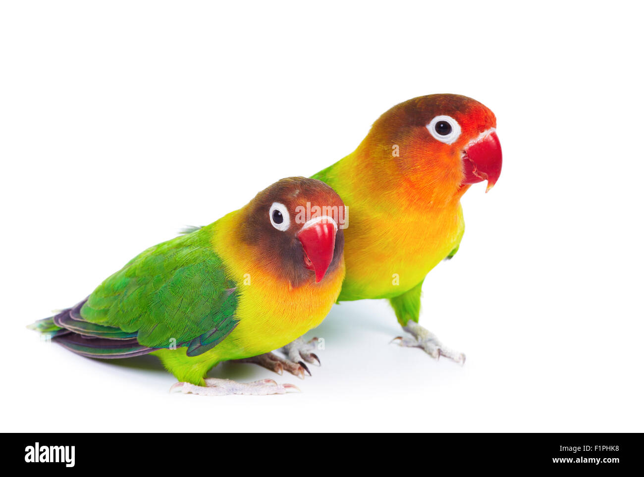 Pair of lovebirds agapornis-fischeri isolated on white - Stock Image