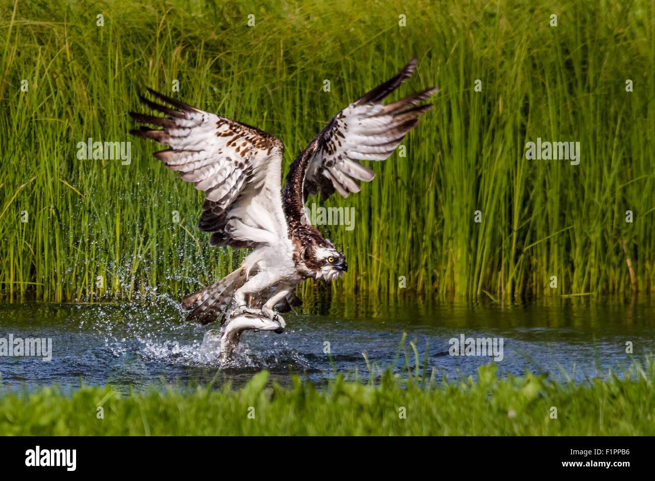 Osprey (Pandion haliaetus) catching fish. - Stock Image