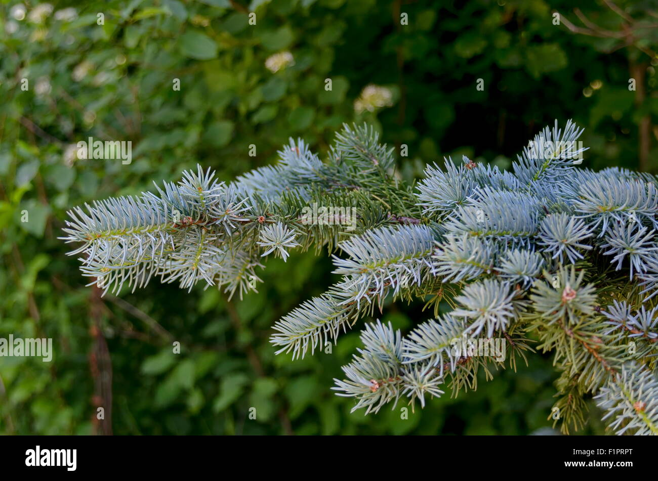 Twig from conifer tree in park, Sofia Bulgaria - Stock Image