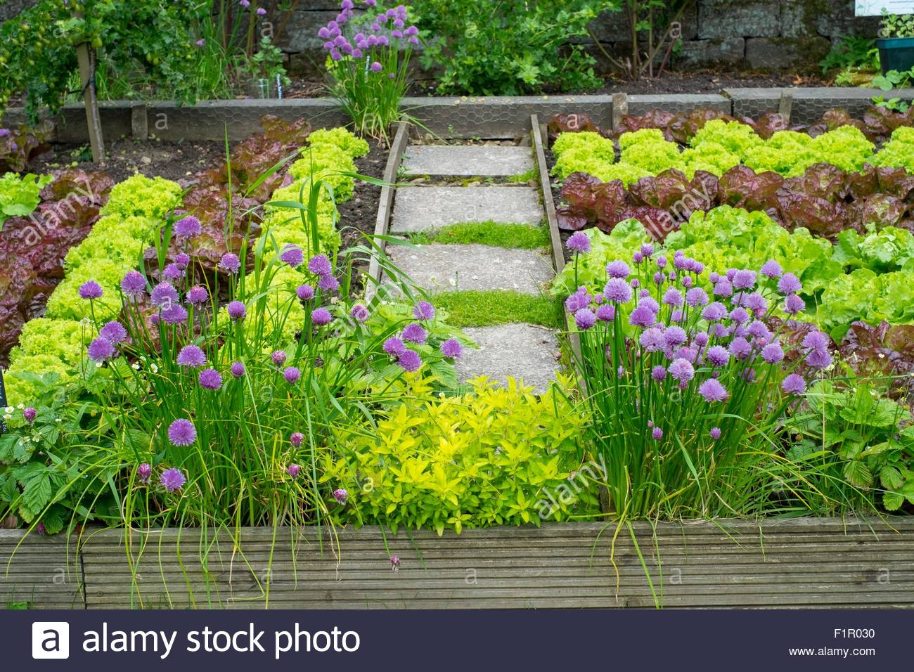 Summer salad vegetable plot with various lettuce varieties, chives and strawberries. - Stock Image