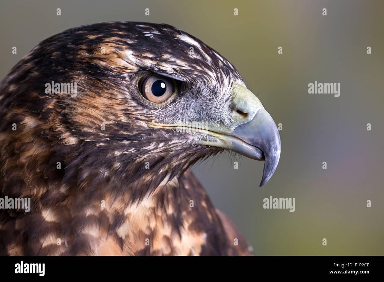 Juvenile female Chilean blue eagle or Black-chested buzzard-eagle - Stock Image