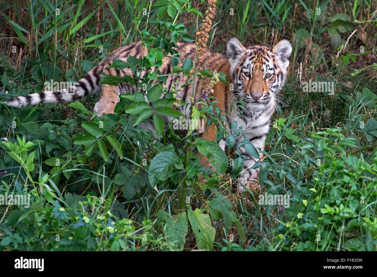 Amur tiger cub, four months old. - Stock Image