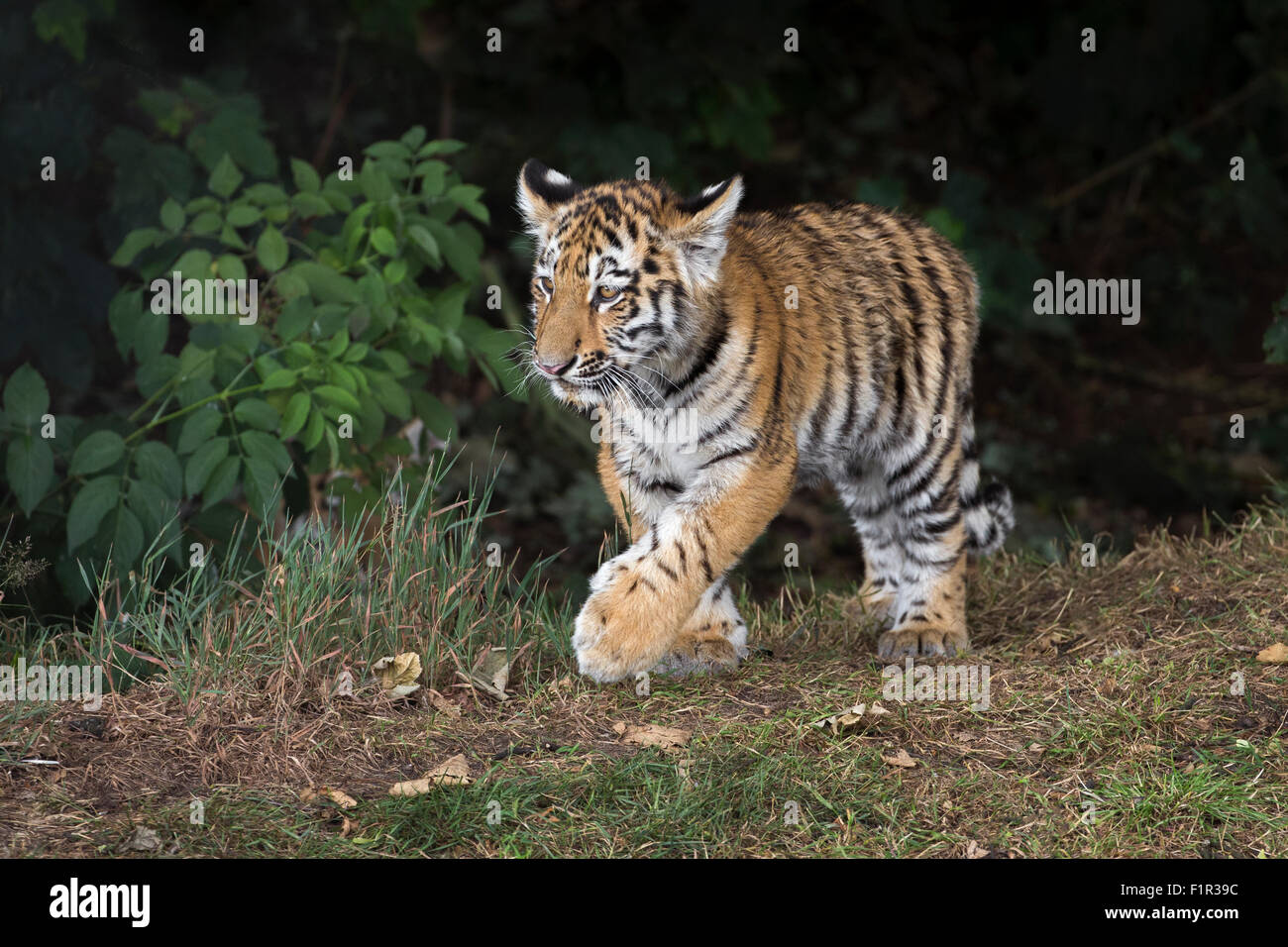 Amur tiger cub, 4 months old. - Stock Image