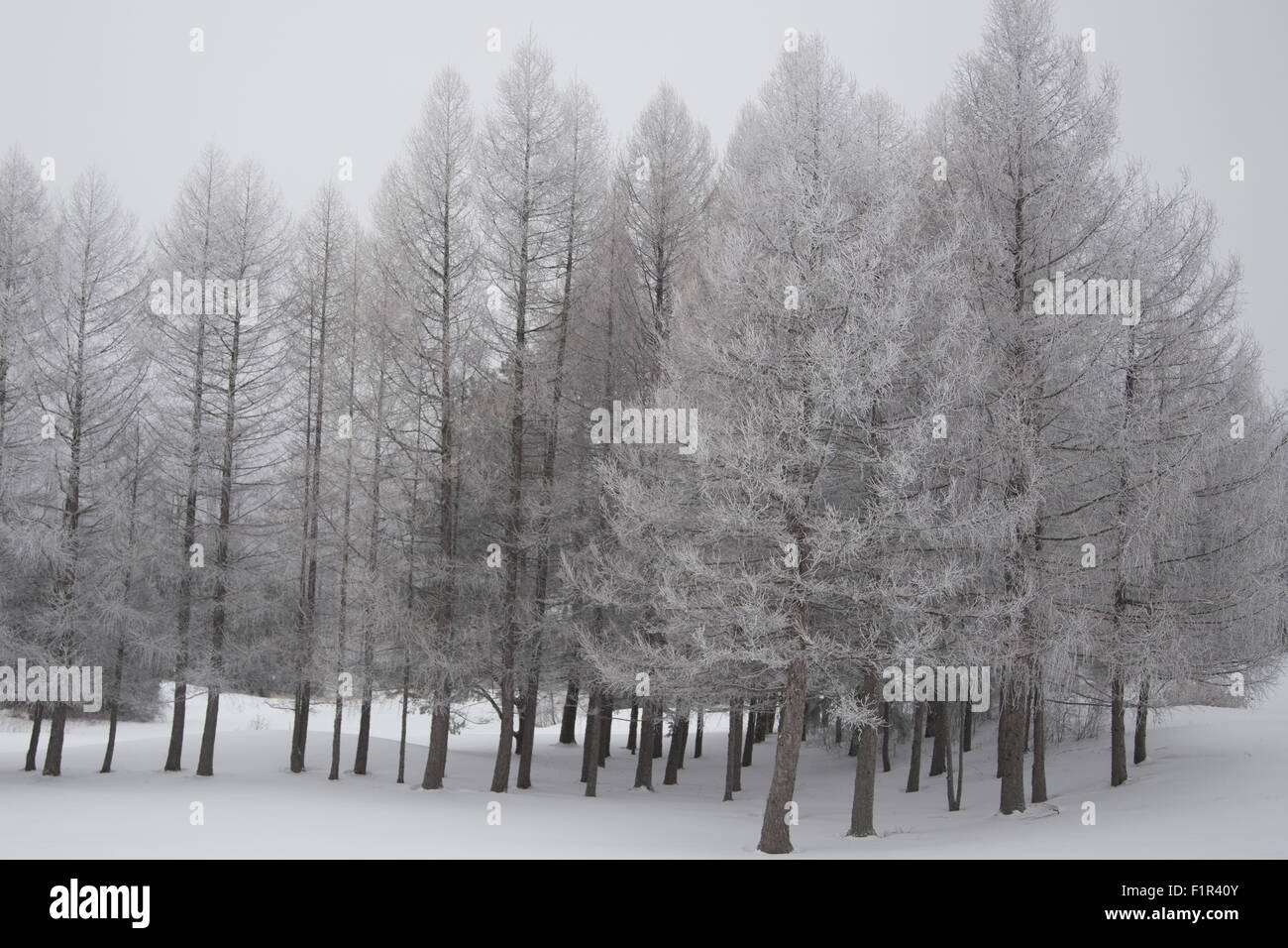 Stark winter scene with snow covered trees - Stock Image