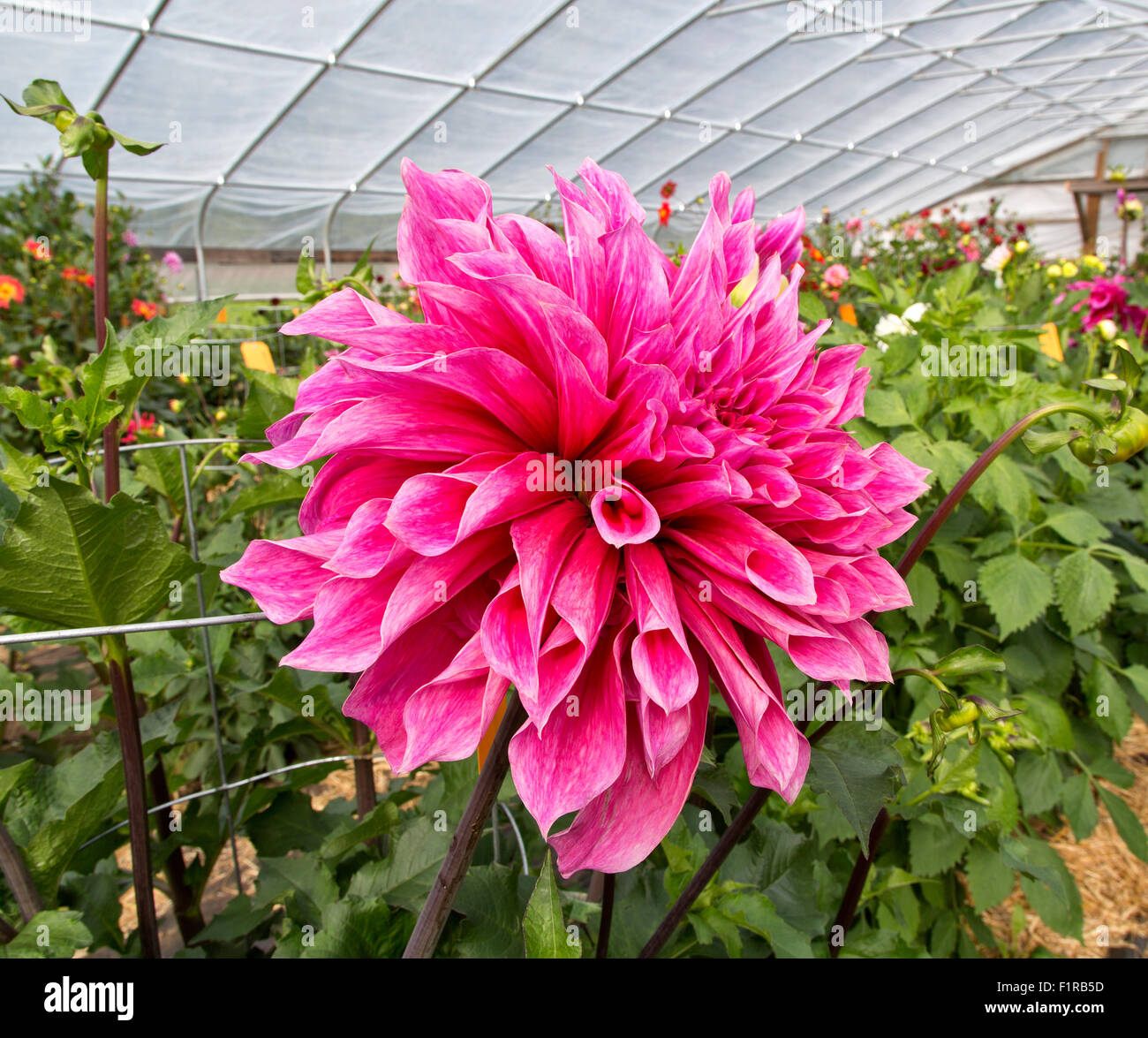 Dahlia 'Emory Paul'  growing in tunnel, 1st Prize Winning, - Stock Image