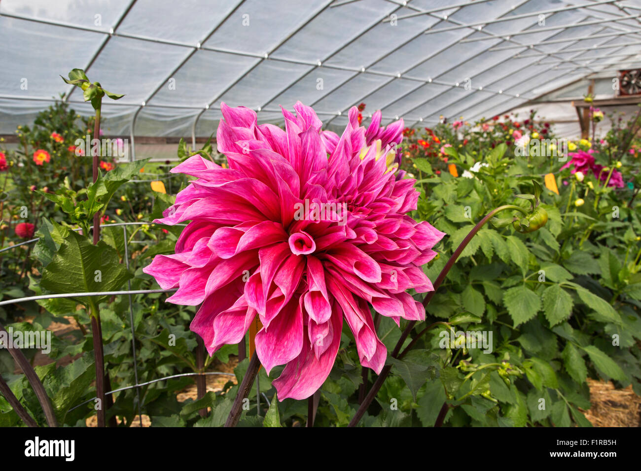 Dahlia 'Emory Paul'  growing in tunnel, 1st Prize Winning. - Stock Image
