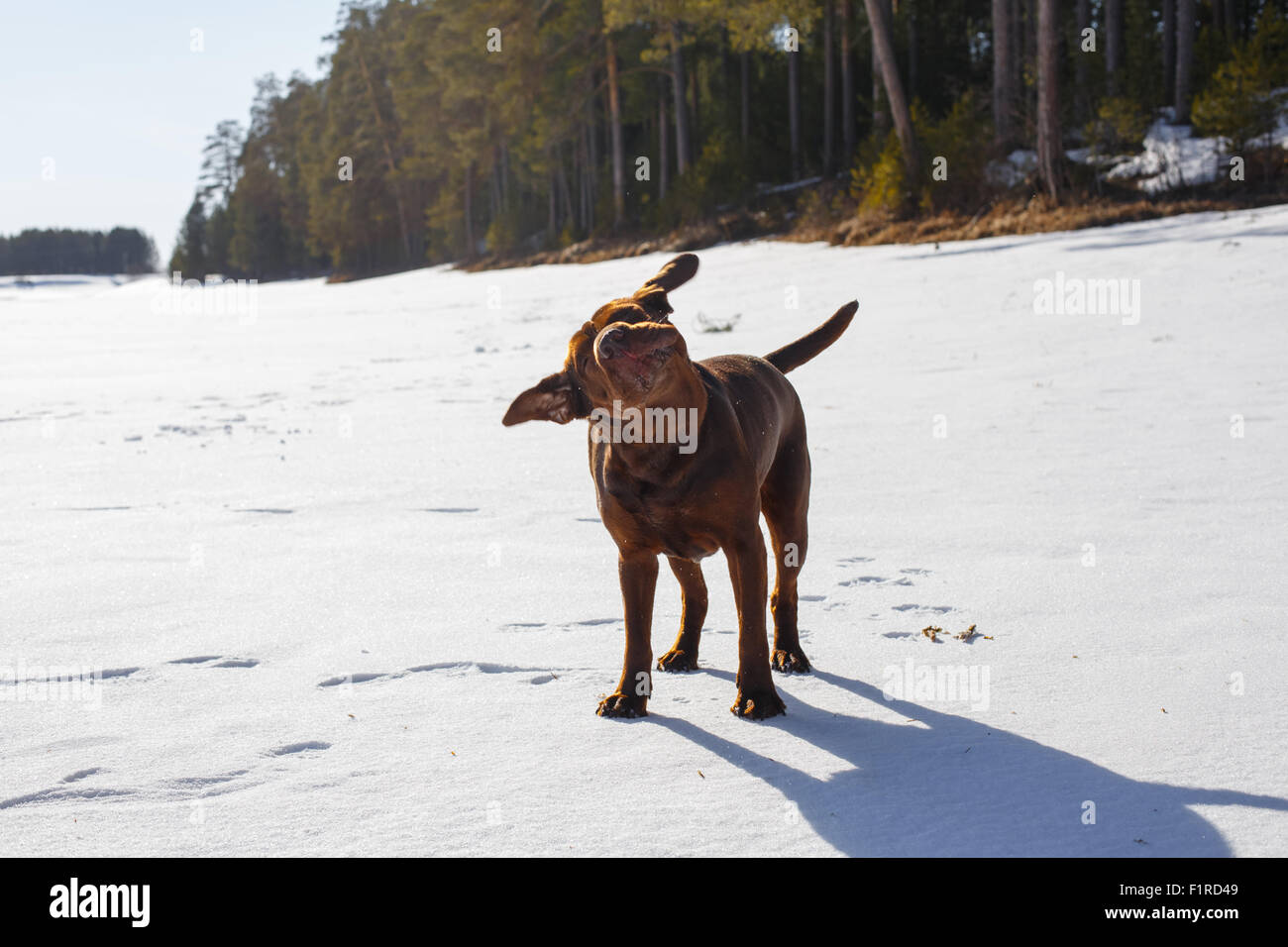 Brown pedigreed dog shaking its head in a snow covered river at a pinery on a sunny day. - Stock Image