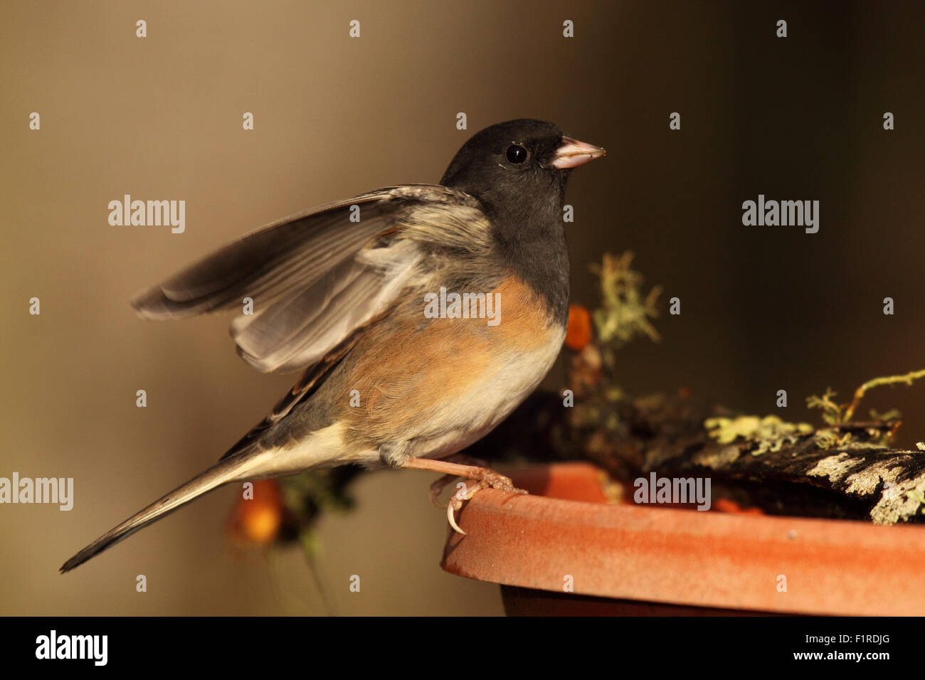 A Junco throwing out its wings. - Stock Image