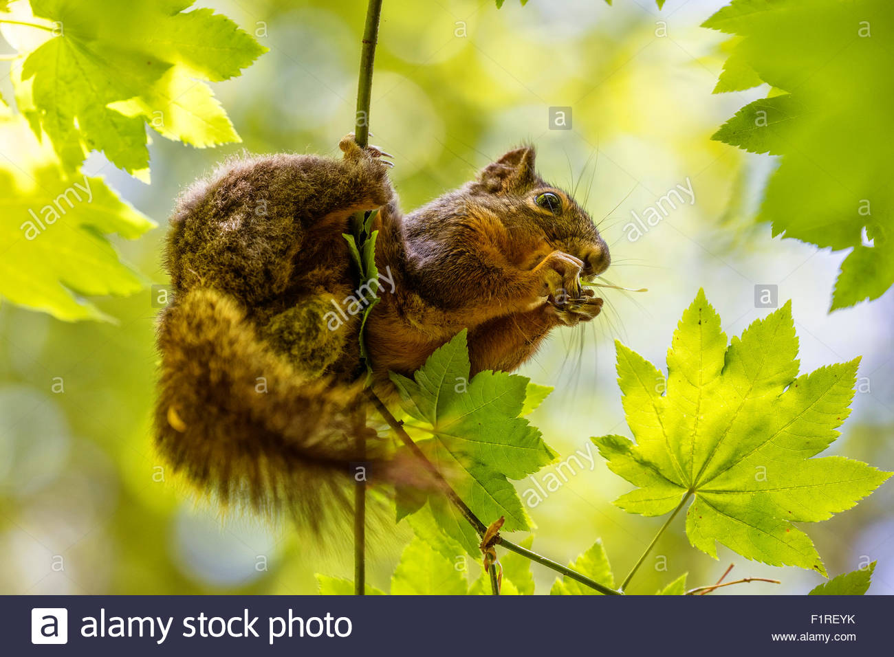 A Cascade golden-mantled ground squirrel (Spermophilus saturatus) feeds on seeds from a low branch of a maple tree. - Stock Image