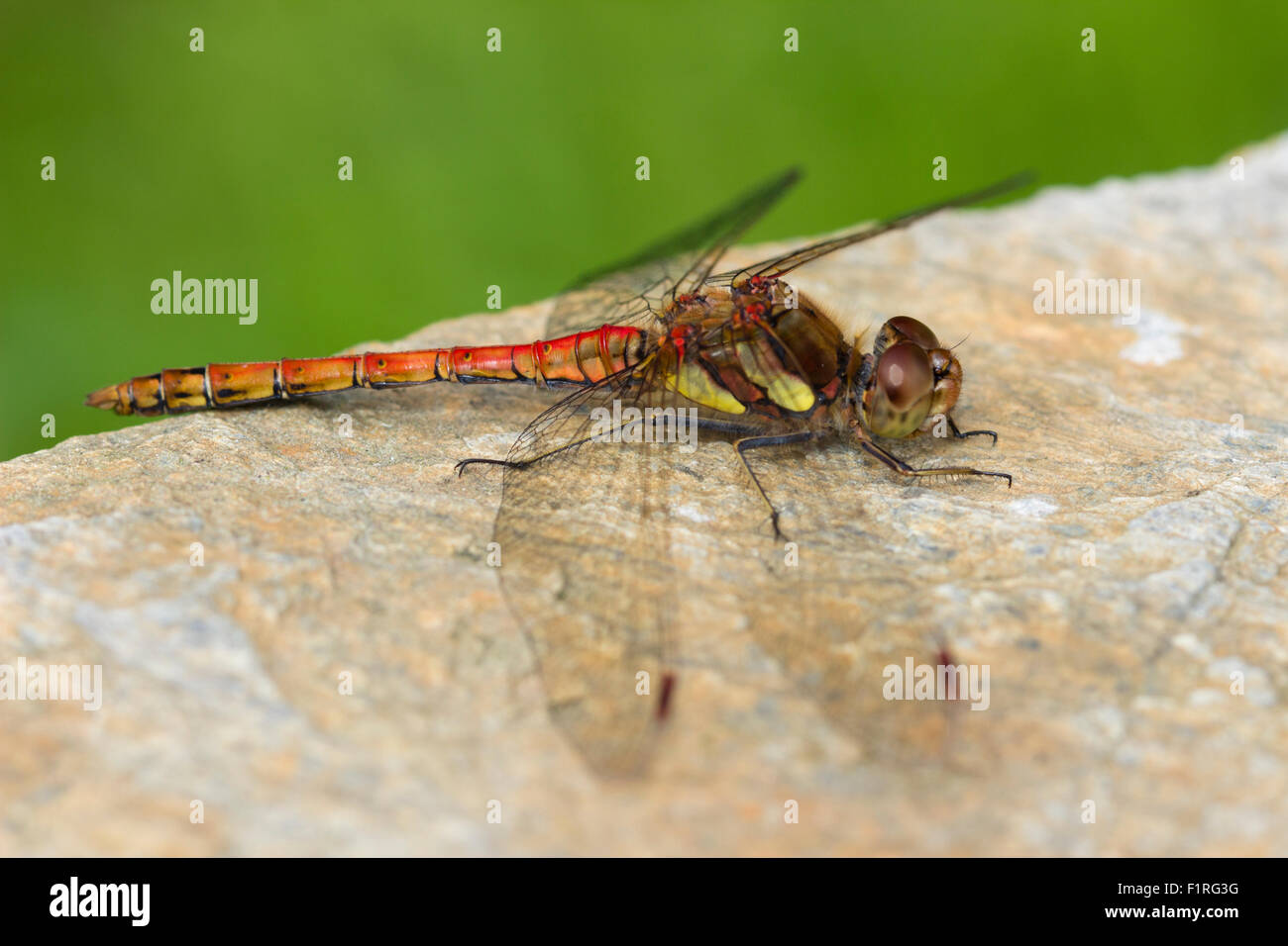 Red bodied adult male common darter dragonfly, Sympetrum striolatum, at rest in a Devon garden Stock Photo