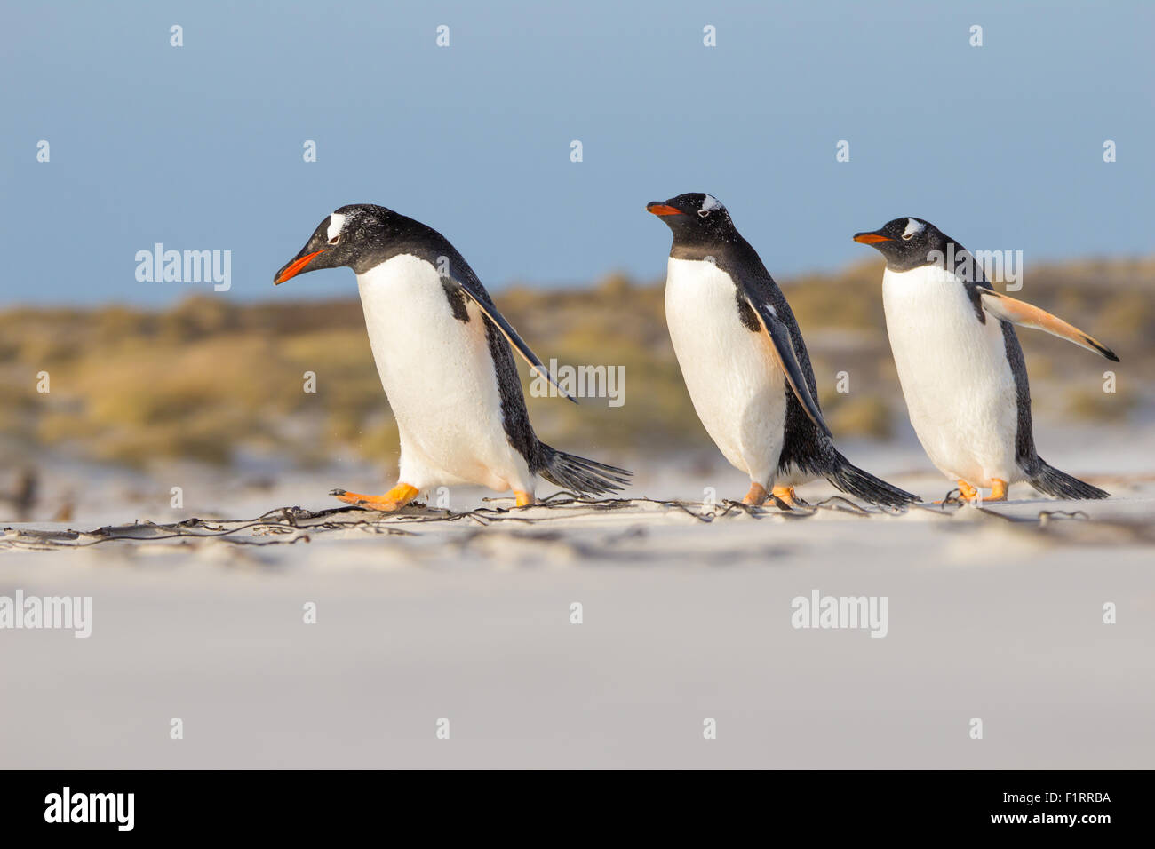 Trio of Gentoo Penguins taking a stroll on the beach. Falkland Islands. - Stock Image