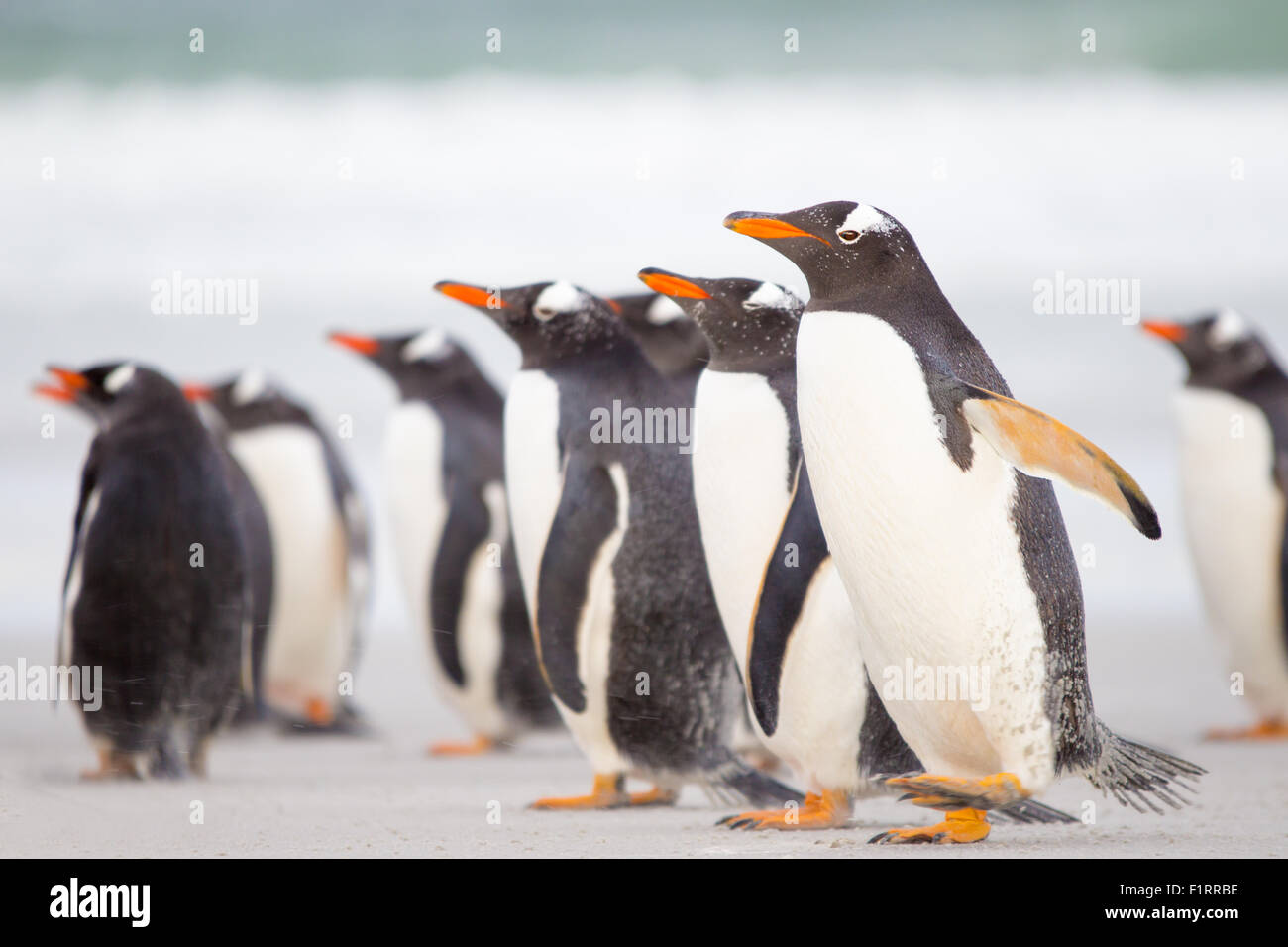 Penguins on the beach with azure sea in background. Falkland Islands. - Stock Image