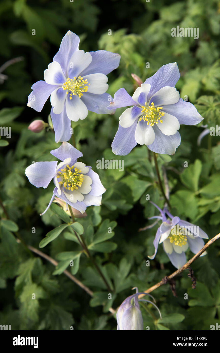 A field with rocky mountain blue columbine flowers stock photo a field with rocky mountain blue columbine flowers izmirmasajfo