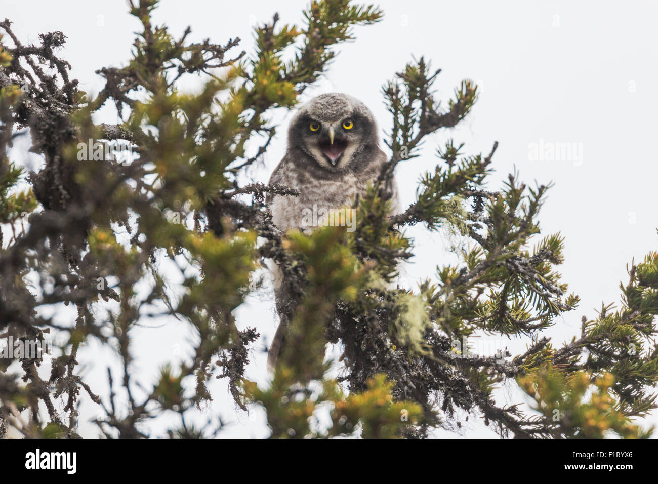 Juvenile Norhtern Hawk-Owl, Surnia ulula, sitting in a spruce  tree with his beak open and begging for food, Gällivare, - Stock Image