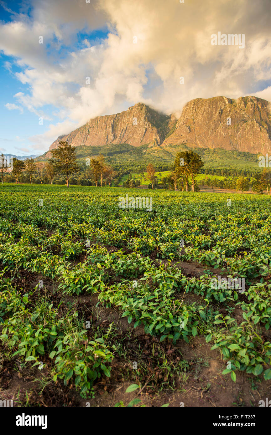 Tea estate on Mount Mulanje at sunset, Malawi, Africa - Stock Image