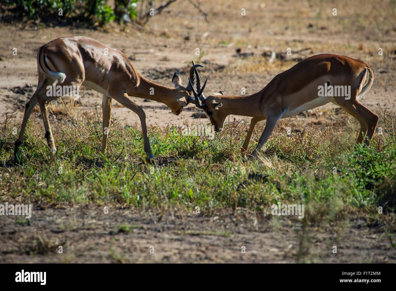 Impala (Aepyceros melampus) fighting in the Liwonde National Park, Malawi, Africa Stock Photo